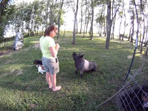 Penelope The Hampshire Pig Out For a Walk
