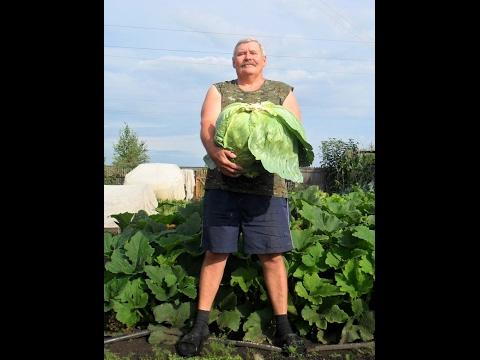 Как вырастить капусту белокочанную на даче видео
