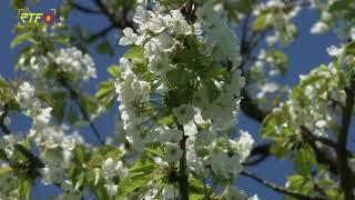 Kirschblüten der Region erfroren