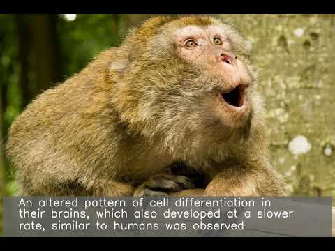 Monkeys with human gene show human-like brain growth: Study
