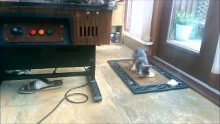 Bengal kittens eating Whole prey