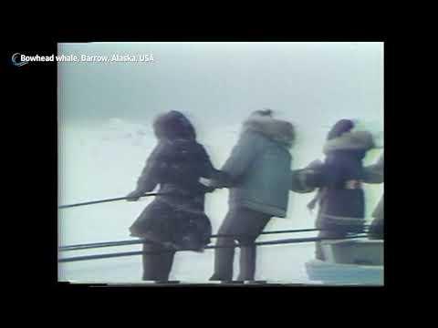 Bowhead Whale, Barrow, Alaska, USA