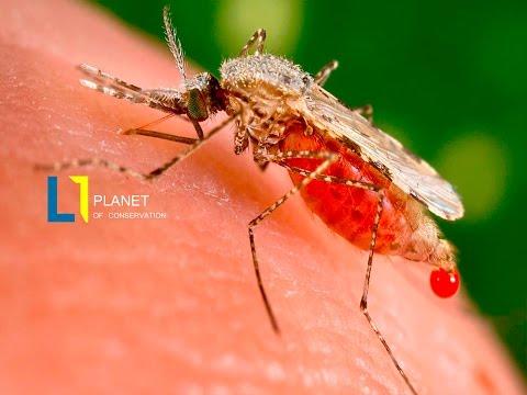 El terror de la chikungunya azota latinoamerica y el caribe.