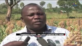 Sorghum grain replaces maize as alternative for farmers