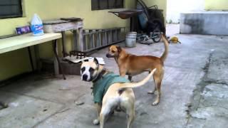 Pelea de,perros callejeros