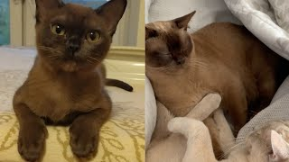 SOME OF THE MOST CALMEST BURMESE CAT MOMENTS