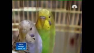 Домашние питомцы - волнистые попугаи