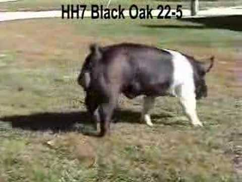 Fall Classic Hampshire Boar ..