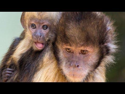 GaiaZoo de Capucijnapen