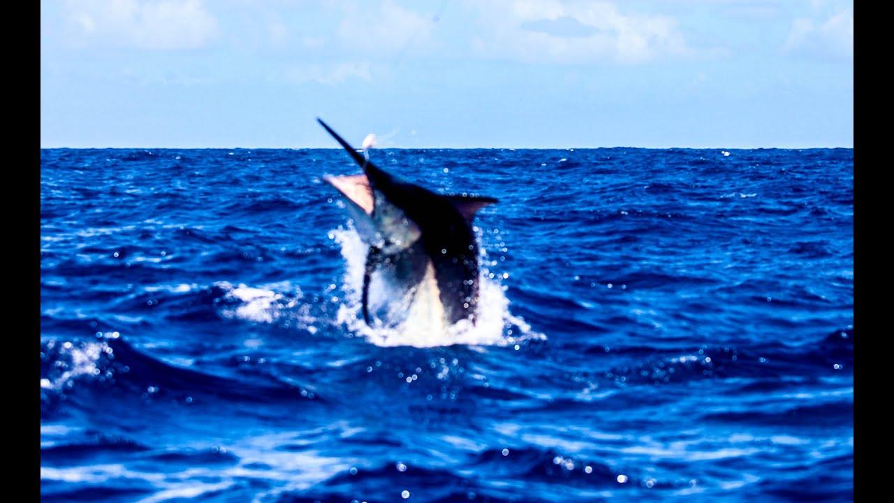 1200lb Black Marlin Cairns Grander Hot Shot Charters - YouTube
