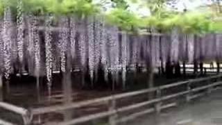 A Wisteria Trellis In Byodoin-temple