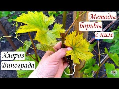 Хлороз винограда. Методы борьбы с ним