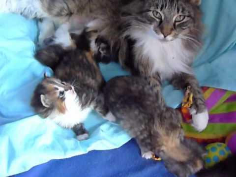 Norwegian Forest Cat kittens 2 weeks old