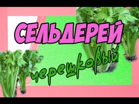 Сельдерей полезные свойства сельдерея, польза и вред