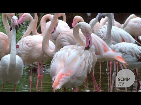 Meet Kowloon Park's flamingo caretaker