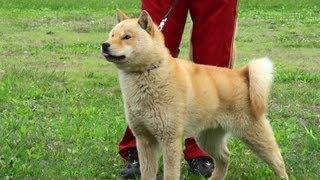 日本犬保存会が純粋な日本犬として認定しているのが、北海道犬、秋田犬...
