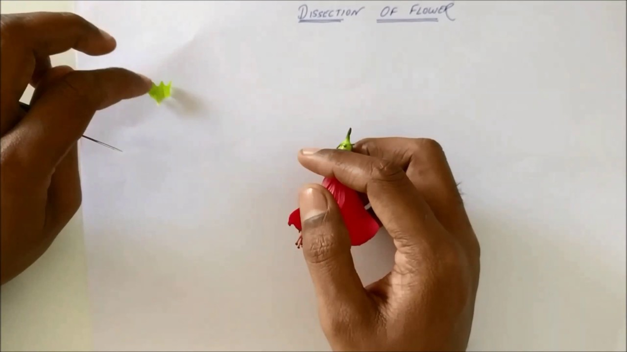Dissection Of Hibiscus Flower Youtube