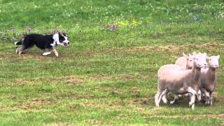 80 Acres And The Kingston Sheep Dog Trials