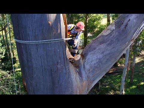 HUGE Dead Mountain Ash Tree Removal