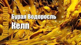 Келп бурая морская водоросль -  природный источник йода, препараты, бад НСП
