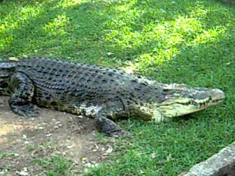 Jaws India S Largest Held Captive Saltwater Croc Youtube