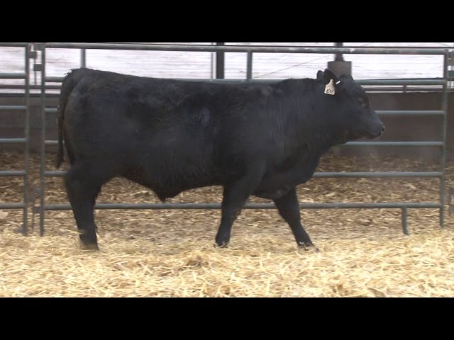 Schiefelbein Angus Farms Lot 291