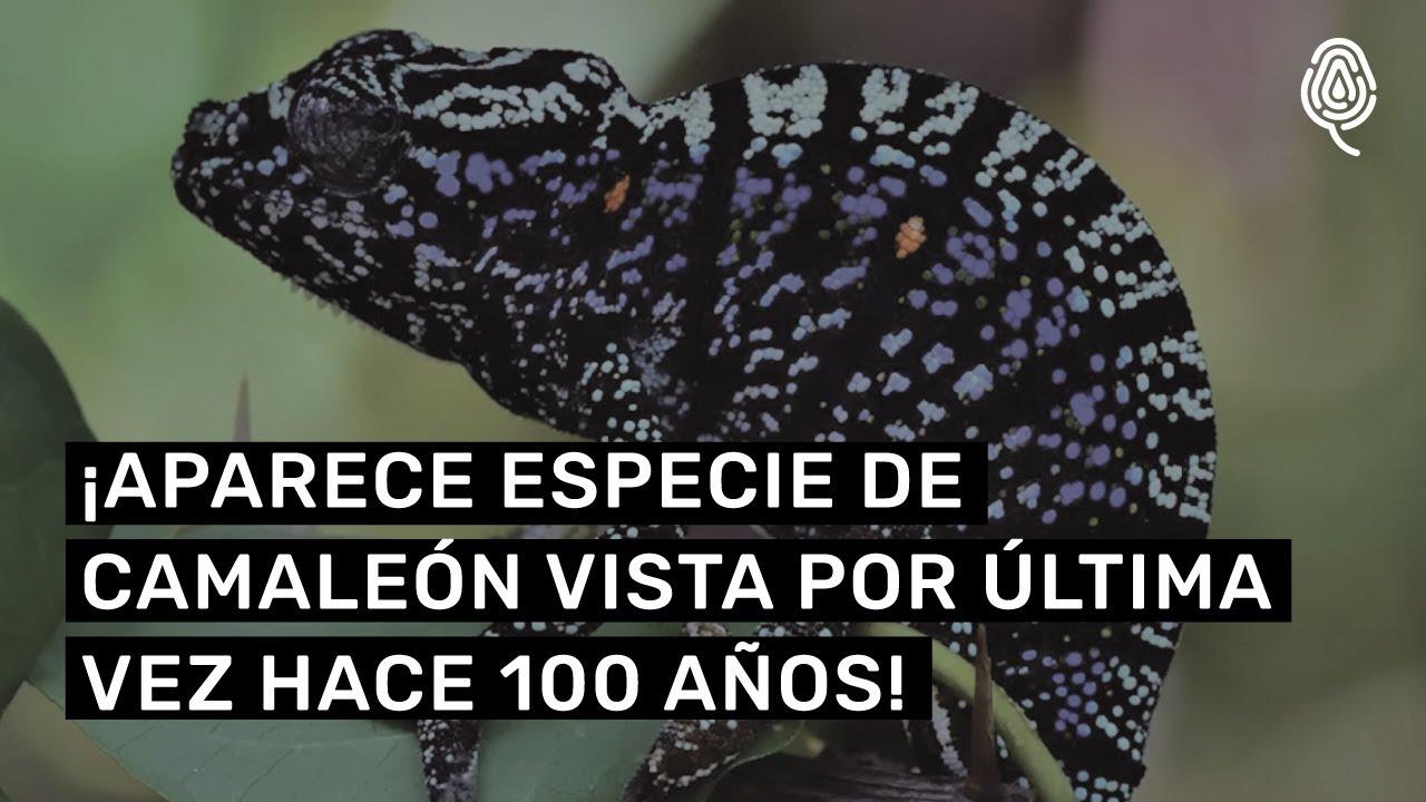 ¡Encuentran especie de camaleón vista por última vez hace 100 años!