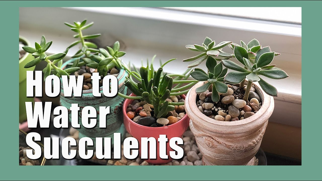How To Water Succulents With A Drainage Hole How To Water