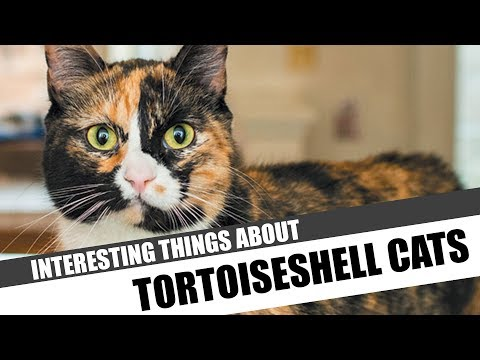 13 Interesting things about Tortoiseshell Cats