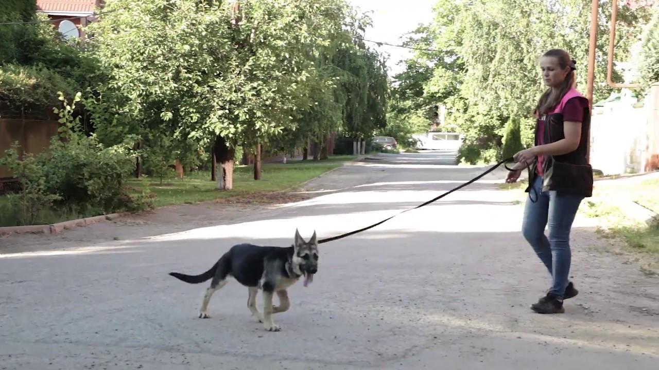 Дрессировка собак. Первая прогулка щенка. Как гулять, чтобы не тянул?
