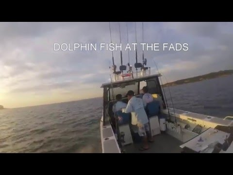Dolphin fish at sydney fads