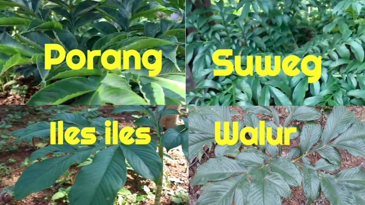 Variabilitas Genetik antar Populasi Porang (Amorphophallus muelleri Blume) di Jawa Tengah dan Jawa Barat Berdasarkan Sekuen Intron trnL