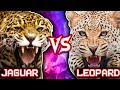 Jaguar vs Leopard | ANIMAL BATTLE (+Lion vs Tiger winner)