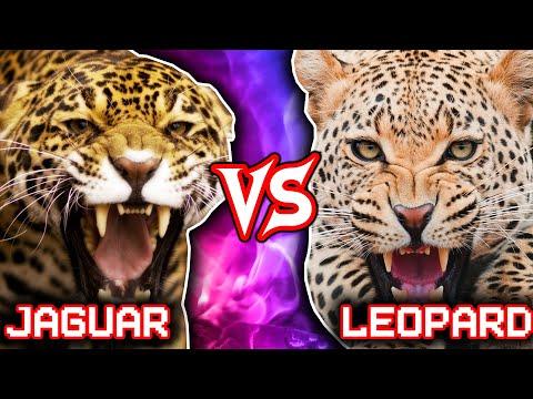 jaguar vs leopard | animal battle (+lion vs tiger winner) - youtube