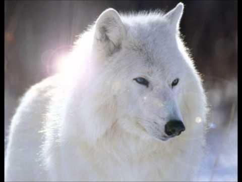 Enya   Crying Wolf   le chant du Loup.wmv