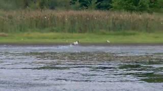 Brittanys chasing killdeer