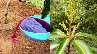 An amazing organic liquid fertilizer for rapid flowering of fruit trees &amp flowering plants