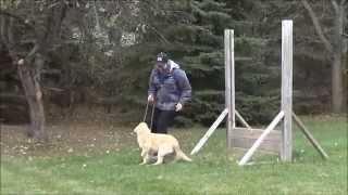 Mabel (golden Retriever) Puppy Camp Demonstration