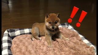 迫りくるお掃除ロボの脅威、チビ柴犬はそのプレッシャーに果たして勝てるのか…!?