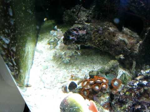 Blue Stripe Pipefish