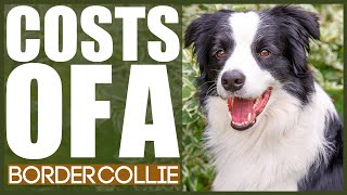 How Much Does A BORED COLLIE COST?