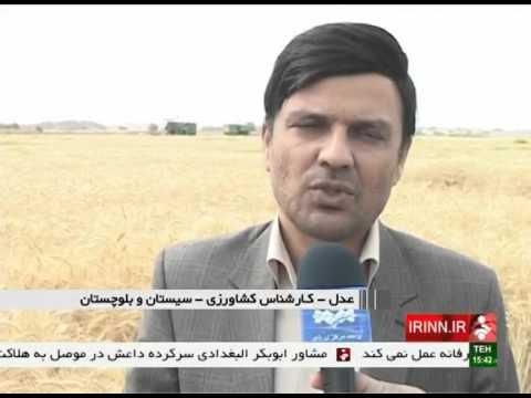 Iran Sistan & Baluchestan province, Wheat harvesting برداشت گندم استان سيستان و بلوچستان ايران