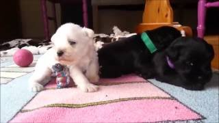 Black And White Miniature Schnauzer Puppies