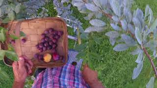 Picking Plums For A Homemade Coffee Cake - Simply Garden