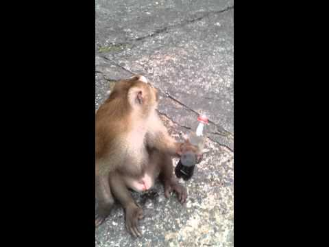 Monkey drinks coca cola (Thailand, Phuket Monkey Mountain)