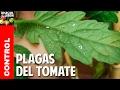 Plagas mas comunes del Cultivo de Tomate @cosasdeljardin