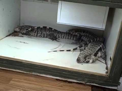 cleaning out 10 x 12 tegu enclosure youtube