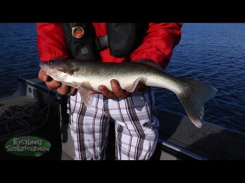 Late Spring Walleye On Lake Diefenbaker On Fishing Saskatchewan.