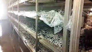 Nowoczesny system nawadniania pieczarek Deutschland pieczarkarnia jak rosną