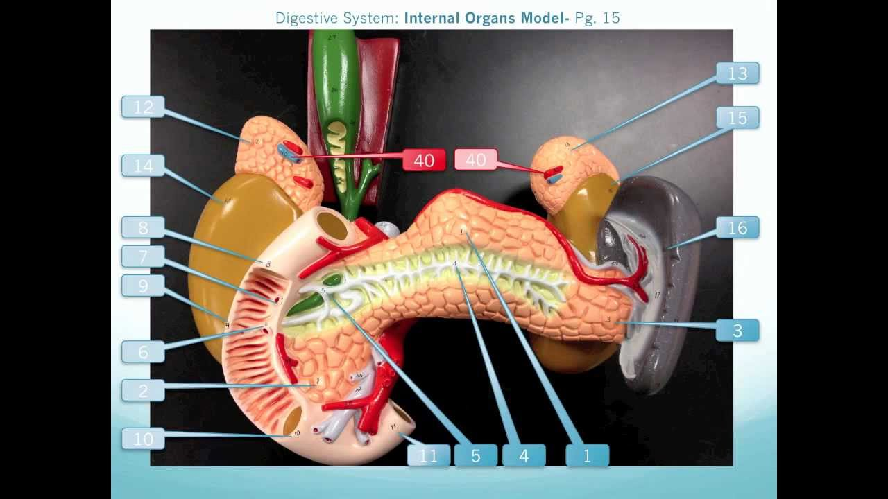 Internal Organs Model Walkthrough - YouTube